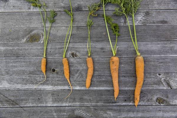 carottes posées sur une table en bois