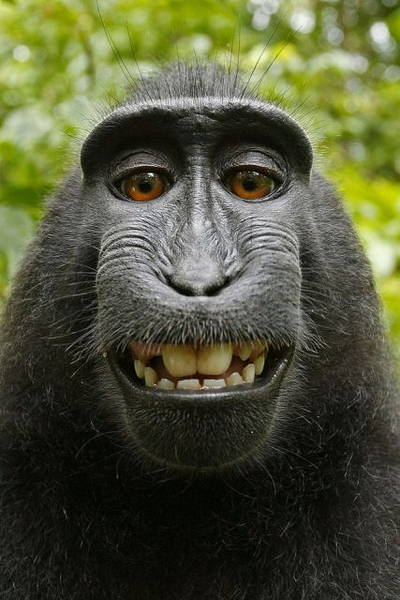 selfie macaque wikipédia (CCO)
