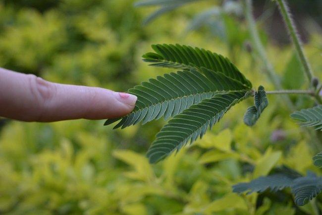 La sensitive réagit à un stimulus « tactile », mais le processus de reploiement des feuilles ne recouvre ni douleur, ni intelligence.