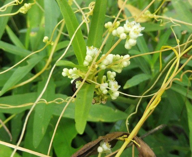 La cuscute oriente sa croissance pour s'étendre vers les plantes qu'elle peut parasiter,